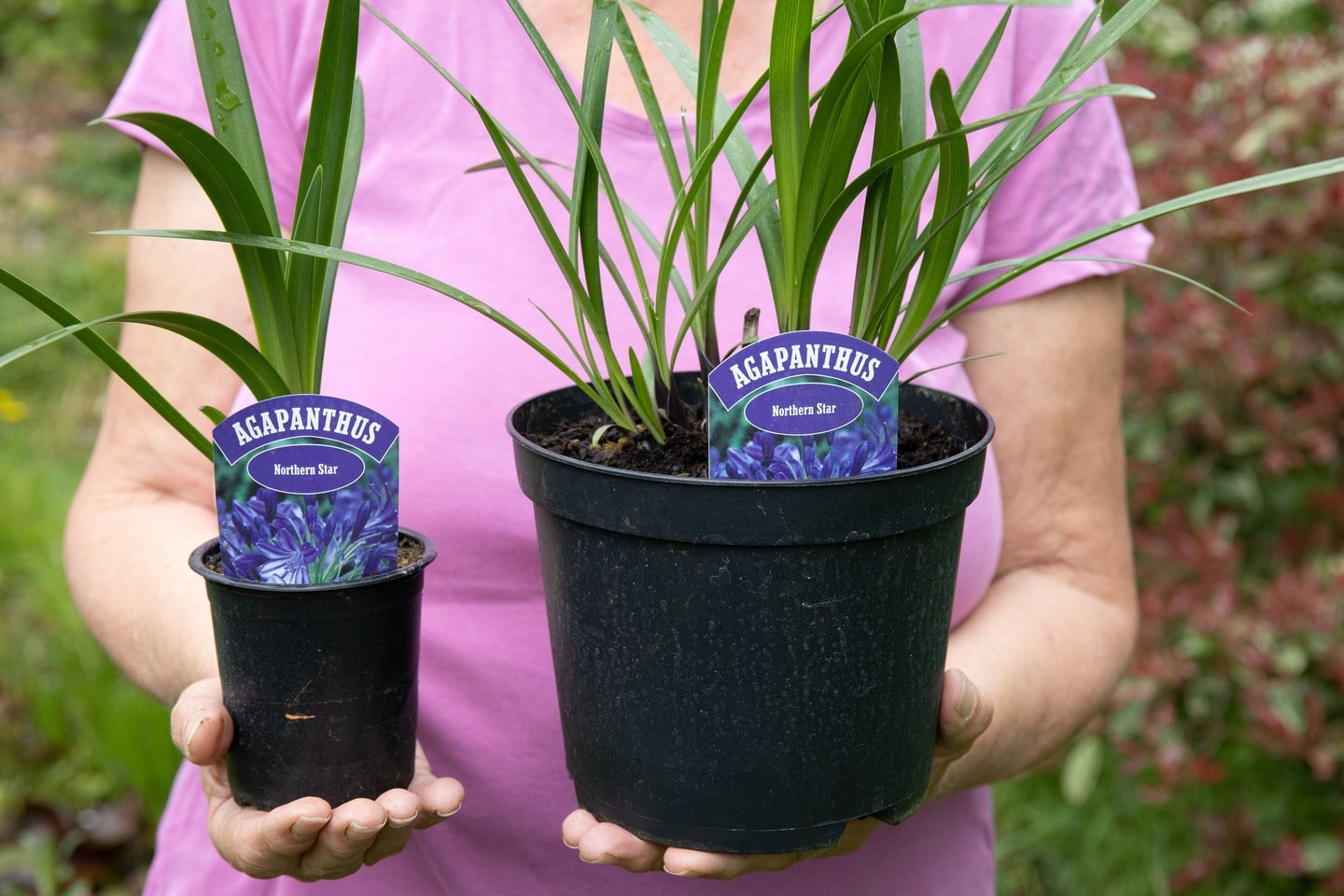 How To Grow Agapanthus Plants Fairweathers Garden Centre