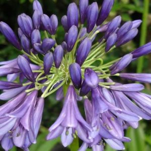 Agapanthus 'Purple Heart'