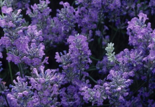 Lavender angustifolia 'Little Lady'