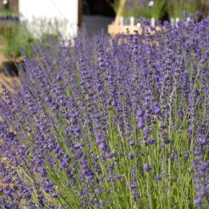 Lavender angustifolia 'Twickel Purple'