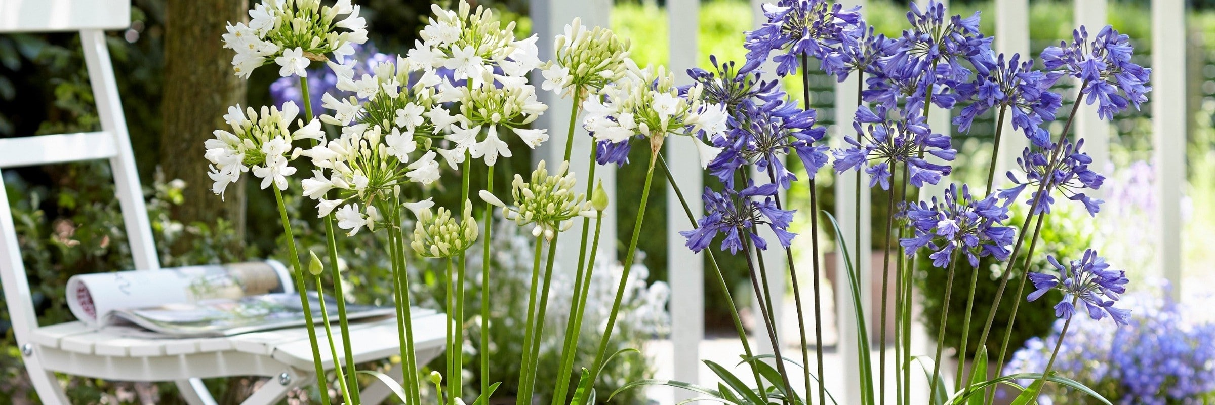 Agapanthus Ever Sapphire and Ever White for website