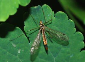 Adult Cranefly