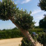 Shaped Olive Tree