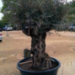 Olive tree car park