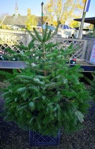 Nordman fir potted 125-150cm £50