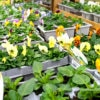4 x Bedding plants 6 pack. Varieties and colours chosen by us.