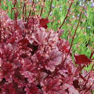 Heuchera Plants